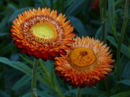 2008 09 29 Deux fleurs d'Immortelles