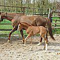poulains 2012 de l'élevage de Condé