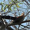 Piaye écureuil (piaya cayana)