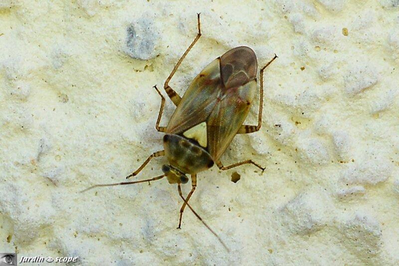 Punaise des plantes • Lygus pratensis • famille des Miridae