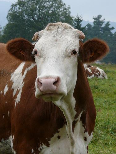 2008 09 26 Une vache des voisins