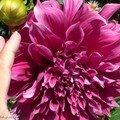 Dahlia à très grosses fleurs