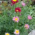 2008 06 13 Mes fleurs de pyrèthres de Robinson