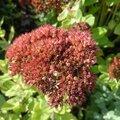 Les belles de l'arrière-saison: 1) le sedum 'autumn joy'