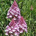Orchis pyramidal (tancarville 76)