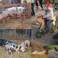 Fête du cochon et de la basse cour