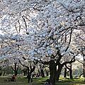 ... observer les cerisiers en fleurs (12ème partie) !
