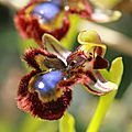 L'Ophrys m