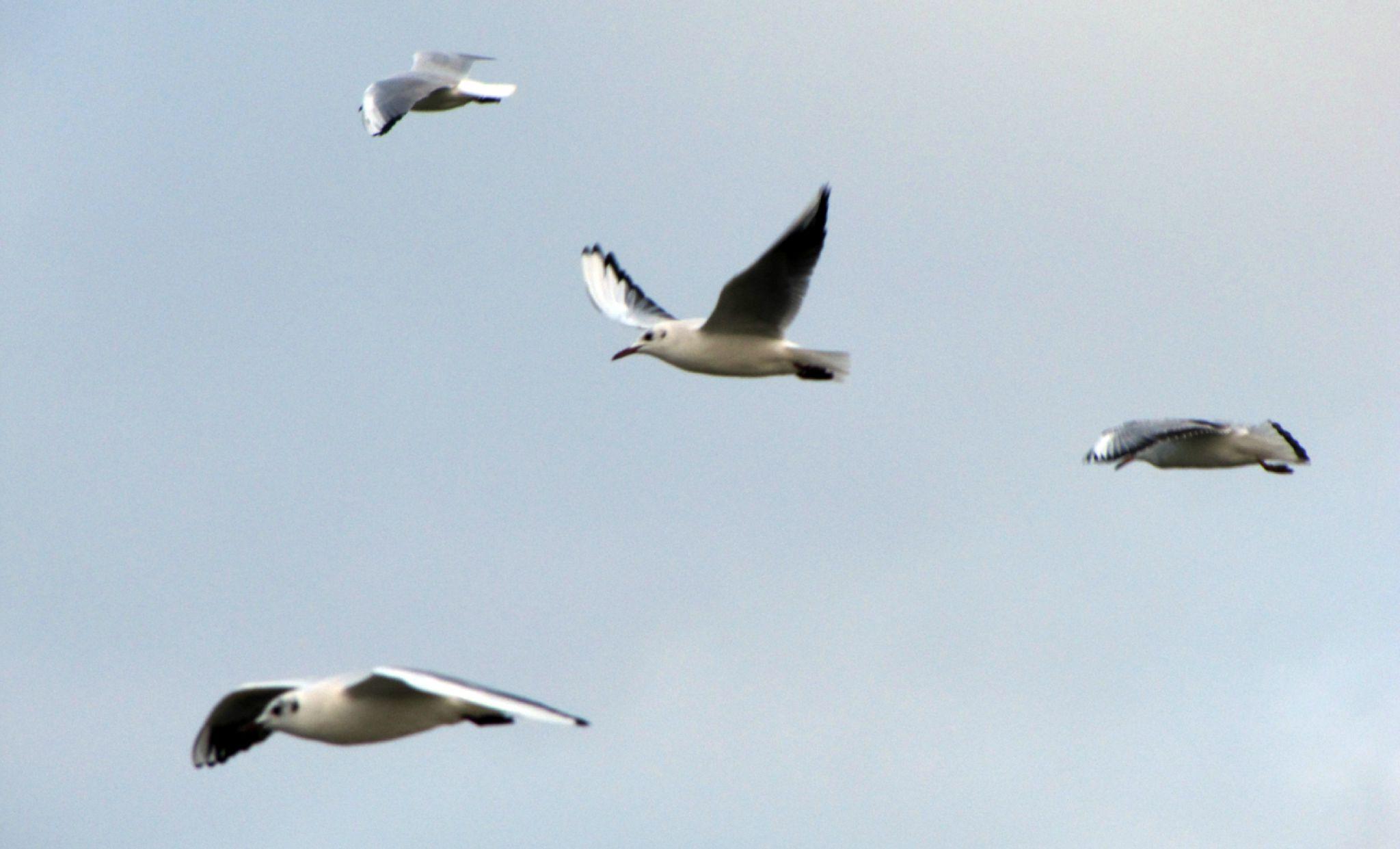 Oiseaux ile de re foto Mo2 (61)-h1500