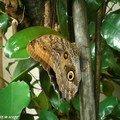 Caligo atreus• Brassolidae • Costa Rica