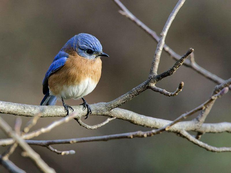 oiseau tete bleu sur branche