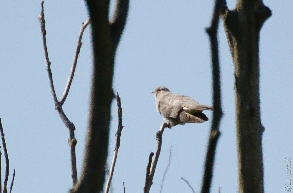 Coucou gris - cuculus canorus
