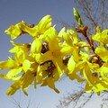 le forsythia - débarrassé des branches mortes pour l'occasion