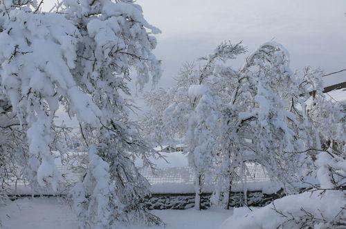 2008 12 17 Les pruniers pliés par le poid de la neige