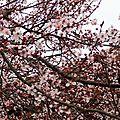Prunus 2502163