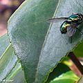 Une famille nombreuse de diptères vert-métallisé