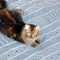 Chat persan sur tapis turc