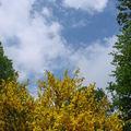 2008 05 31 Des genets en fleurs avec un mgnifique ciel