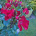 robusta (jardin)