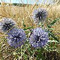 chardon bleu écossais
