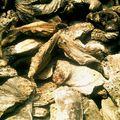 Wat Cheddi Hoi - Huitres fossilisées