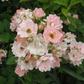 Rose ancienne : 'Souvenir d'Adolphe Turc'