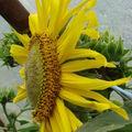 2008 07 21 Le tournesol en fleur vu de profil