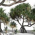 Pandanus tectorius (screw palm)