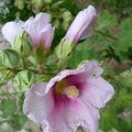 Les roses trémières ...