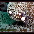 Crustacé , Crevette queue de paon