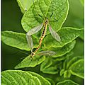 Tipules du chou : tipula oleracea