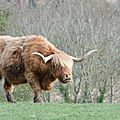 Red Highland Cattle (2)
