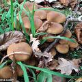 Des champignons copains avec les coprins