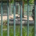 le crocodile du Nil #1