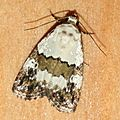 Lithacodia blandula