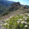 Erysimum arbuscula • Famille des Brassicaceae