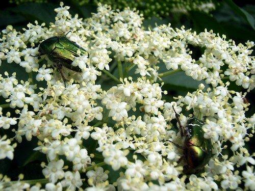 scarabées dorés sur fleurs de sureau