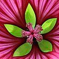 Cœur de fleur (malope)