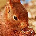 Écureuil roux et gris