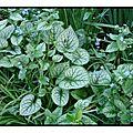 La plante du dimanche : le <b>brunnera</b>