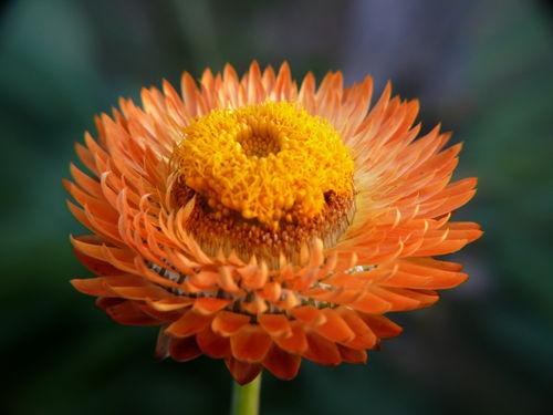 2008 10 14 Une fleur d'Immortelle
