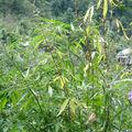 Manali cannabis