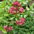 centranthe rouge, ou valériane rouge, ou lilas d'Espagne