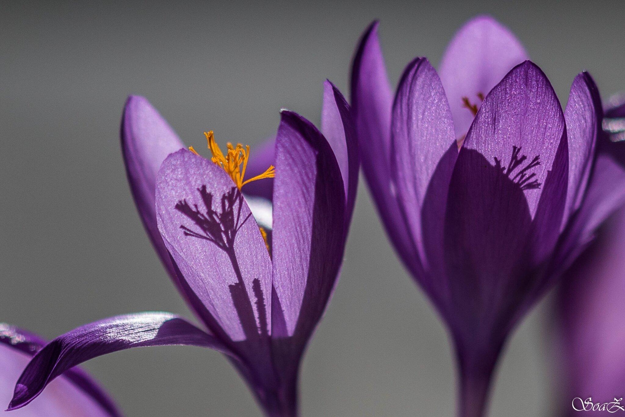 Colchiques ... fleurissent, fleurissent ...