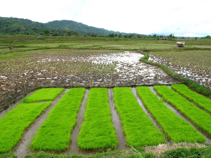 Rotation des cultures du riz (Koto Gadang, Sumatra)