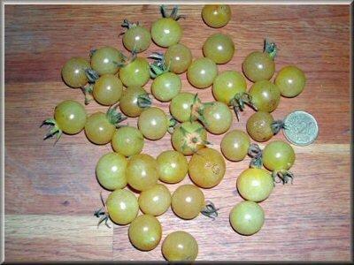 5- tomate cerise bianca cherry - www.passionpotager.canalblog.com