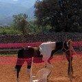 Prise de contact avec les chevaux dans rond de longe