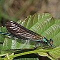 calopteryx_virgo_mâle_2