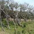 Bois limite dunes ecuissiere (dolus d'oleron)
