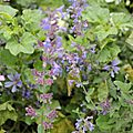 Nepeta faassenii Six Hill's Giant